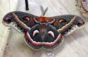 Cecropia moths (pictured)